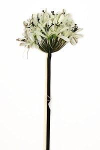 Cream Agapanthus 78cm