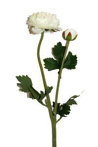 Single stem ranunculus flower ivory