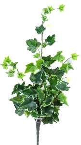 Varigated ivy bunch x 78 leaves