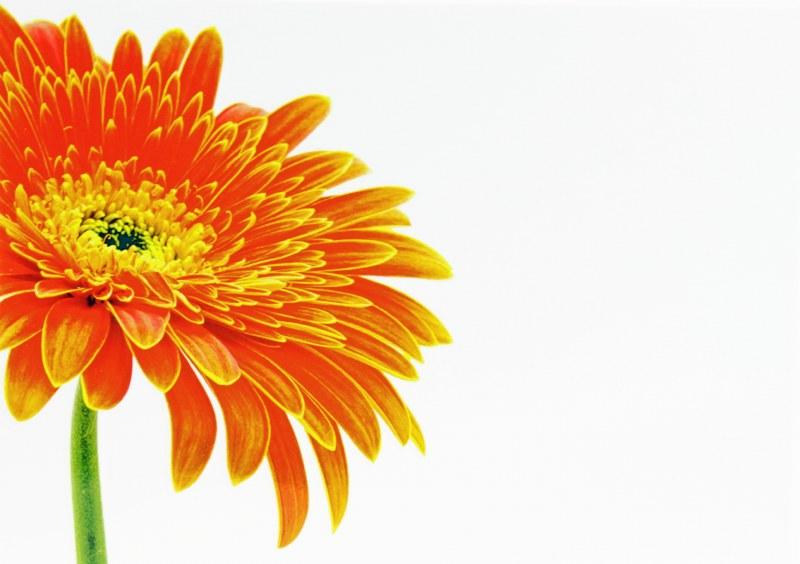 Florist Card Large Orange Gerbera x 9pcs