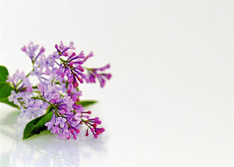 Florist Cards Large Lilac Blossom x 9pcs