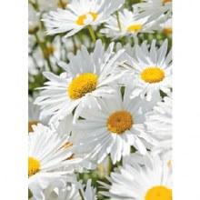 Folded Florist Daisy Gift Card x 25pcs 10cm x 7cm