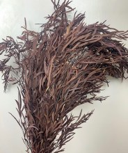 Eucalyptus Nicolii Brown