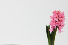 Florist Cards Small Pink Hyacinth x 50pcs