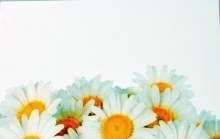 Florist Cards Small Daisy x 50pcs