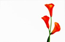 Florist Cards Small Calla Lily Orange x 50pcs