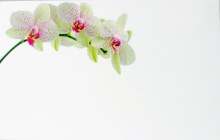 Florist Crads Small Orchid x 50pcs