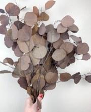 Eucalyptus Populus Brown Cappuccino