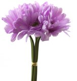 Lavender gerbera bunch x 5 32cm