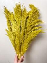 Dried Wild Plume Stems x 10 Curry 75cm