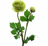 Single stem ranunculus flower green