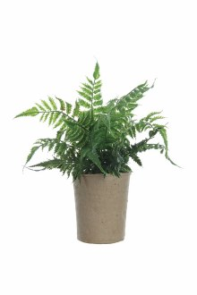 Fern in Paper Pot