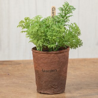 Parsley In A Peat Pot