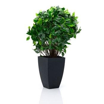 """Ficus Topiary Tree - 25"""""""