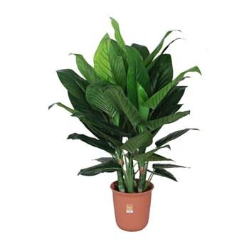 """Dieffenbachia Plant-47"""""""