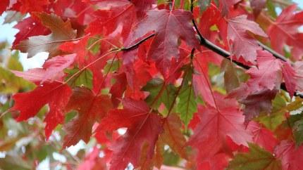 Acer Freemanii Jefferson Red