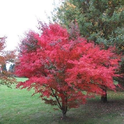 Acer palmatum Artropuprpureum - Japanese Maple