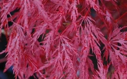 Acer palmatum Inaba-Shidare 80-100cm Tall - Japanese Maple
