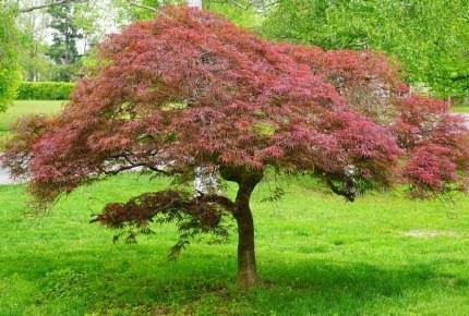 Acer palmatum Garnet - Japanese Maple 7.5 L