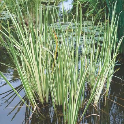 Acorus calamus Variegatus P9