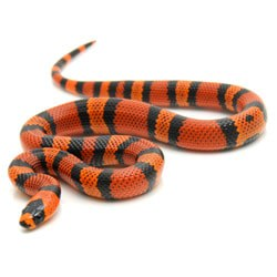 Tangerine Honduran Milk Snake - Adult Breeding Pair
