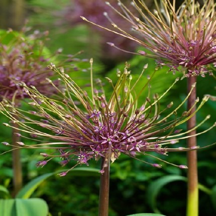 Allium schubertii 3 Litre