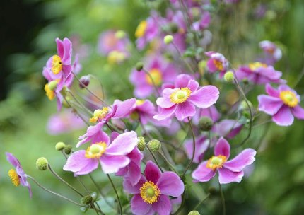 Anemone hupehensis 'Splendens'   Japanese Anemone 'Splendens'