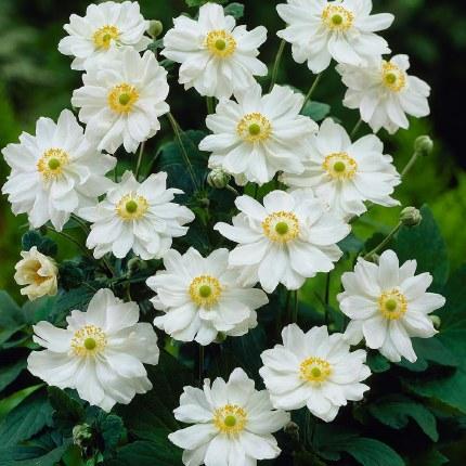 Anemone x hybrida 'Whirlwind'   Japanese Anemone 'Whirlwind'