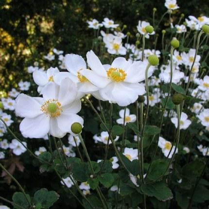 Anemone x hybrida 'Honorine Jobert'   Japanese anemone