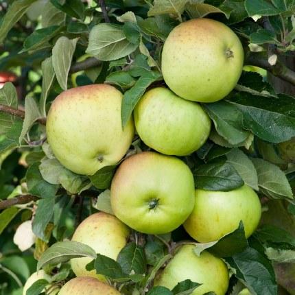 Apple 'Grenadier' - Self Fertile | Cooking Apple Tree