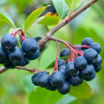 Aronia x prunifolia 'Viking' (F) | purple chokeberry 'Viking'