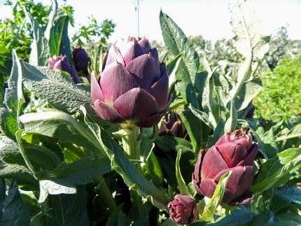 Artichoke | Cynara scolymus 'Purple of Romagna'