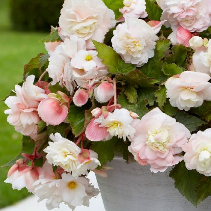 Begonia Odorata Mothers Day x4