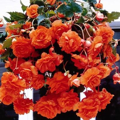 Begonia Orange Giant Pendula