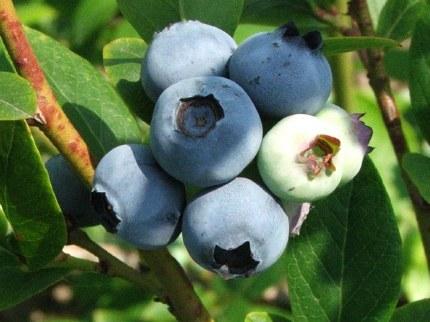 Vaccinium corymbosum - Blueberry Bush