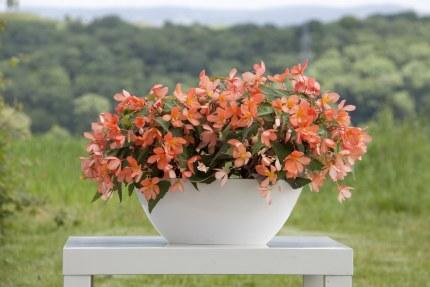 Begonia Trailing California Sunlight in 12cm pot