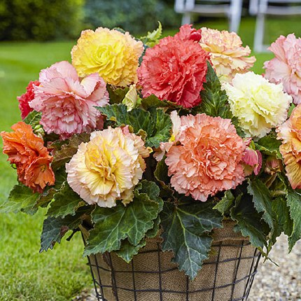 Begonia Samba Mixed x4