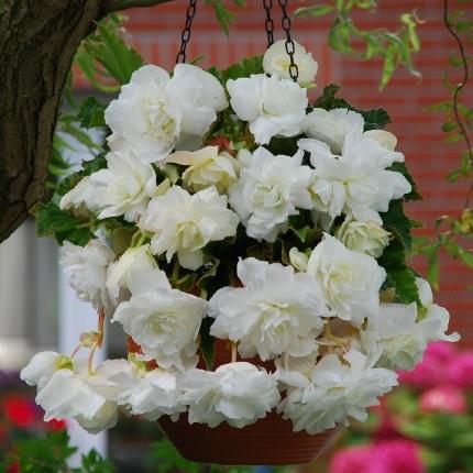Begonia White Giant Pendula