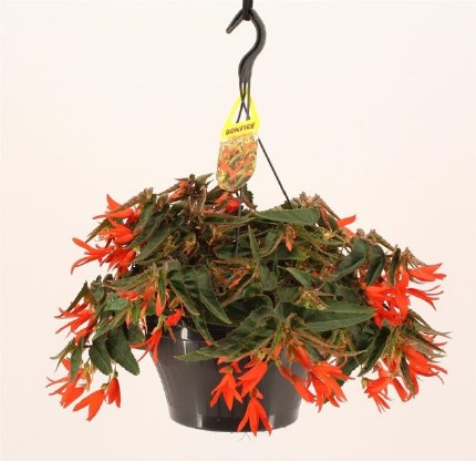 Begonia tub. Bonfire Hanging Basket 23cm