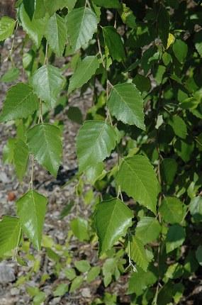 Betula Nigra 'Summer Cascade' - Weeping Birch Tree