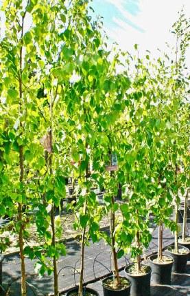 Betula pendula 'Spider Alley' - Weeping Birch Tree