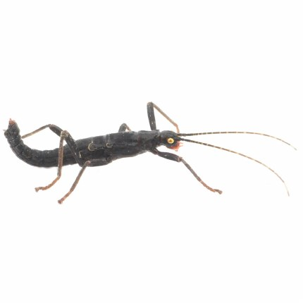 Black Beauty Stick Insect