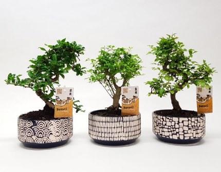 Bonsai mix 15cm in ceramic Japanese pot