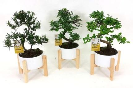 Bonsai mix on wooden legs 19cm Tall