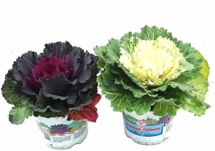 Brassica Oleracea (Cabbage)