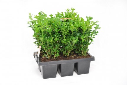 Buxus Sempervirens 6 Pack