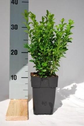 Buxus Sempervirens P11