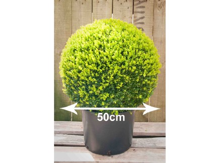 Buxus sempervirens Ball Shape Topiary 50cm Tall