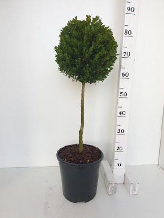 Buxus sempervirens 60cm Stem