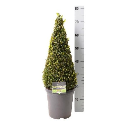 Buxus sempervirens Pyramid 50-60cm Tall